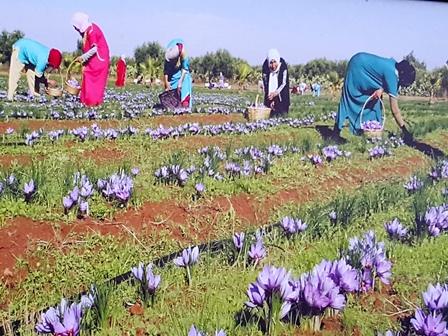Safran Gewürzbasar - Safranernte 2015 Erntehelfer