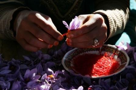 Safran Gewürzbasar - Safranernte 2015 Details 11