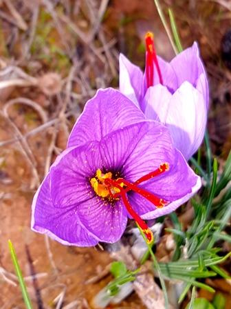 Safran Gewürzbasar - Safranernte 2015 Blüte